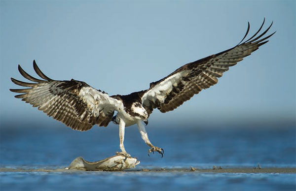 "Robert Rommel's ""Osprey and Flounder,"" Recently Tied for Winner in the Expert Category, of the Tri-Club photography contest in late May 2014, at Hidden Cypress in Sun City, Hilton Head"