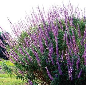 Purple blooms of salvia leucantha.