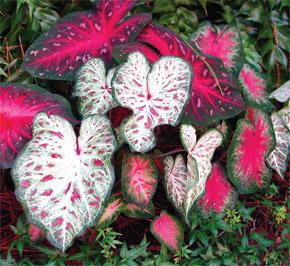 Massed variegated caladiums