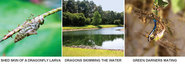 Dragons of the LAGOONS